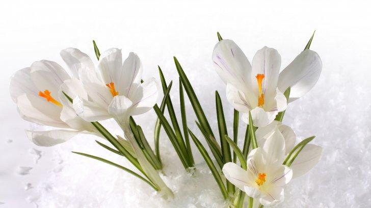 snow-crocus-white-flower_1192643487.jpg