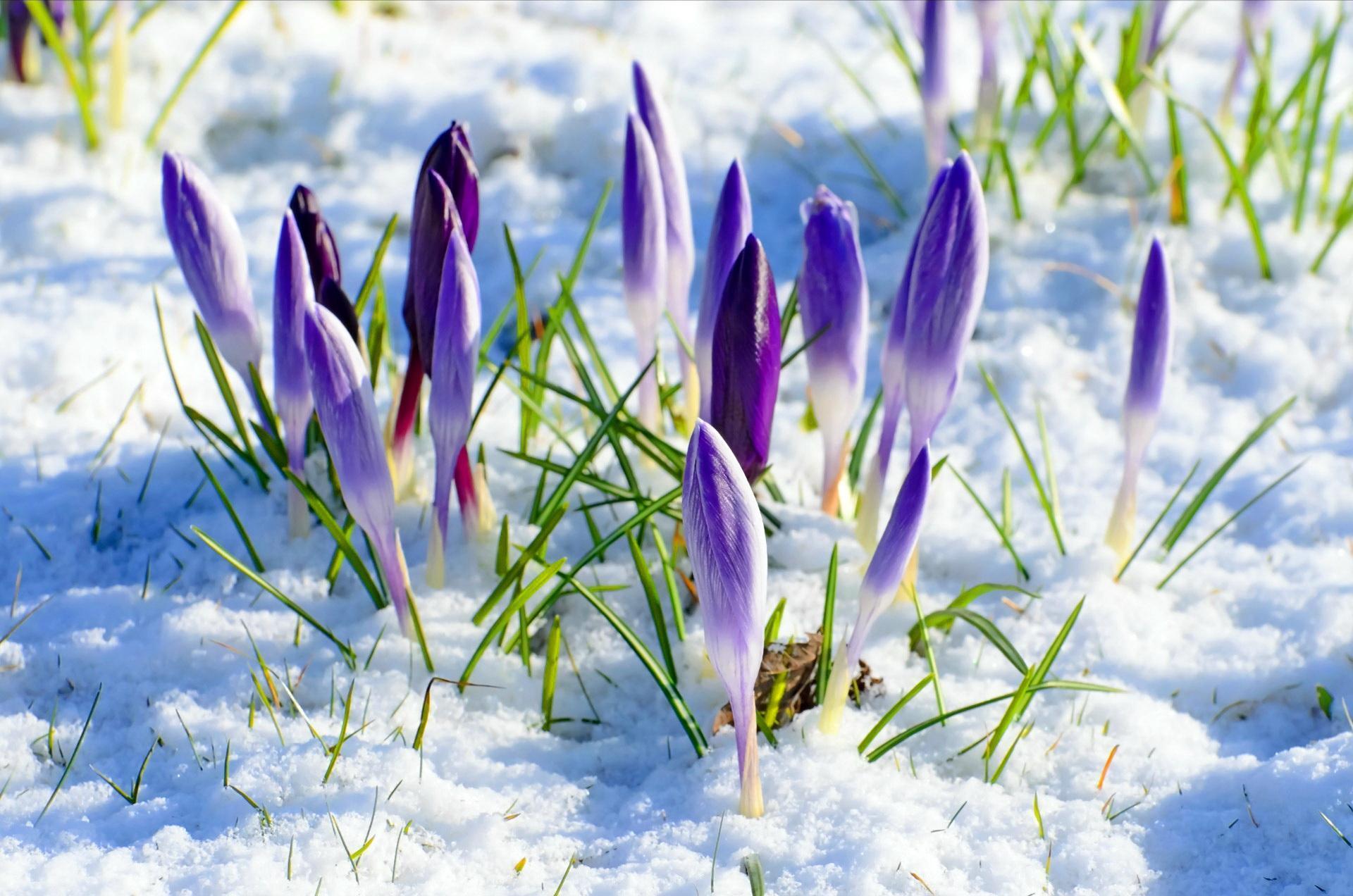spring-flower-snow.jpg