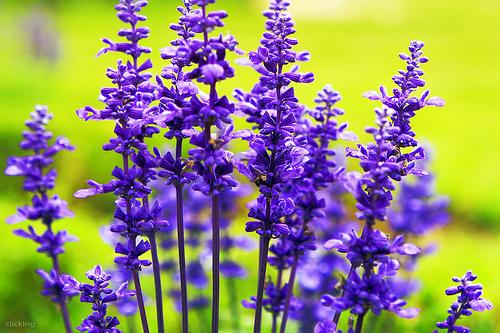 y nghia hoa lavender5.jpg