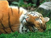 tiger96