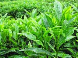 Thái Nguyên Green Tea